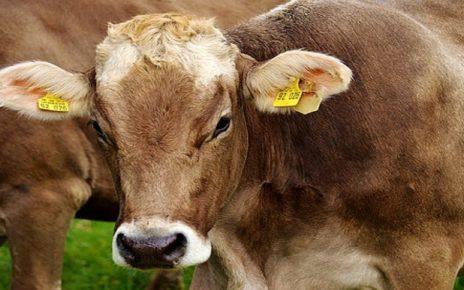 सपने में गाय देखना