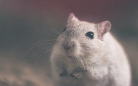 सपने में चूहा देखना