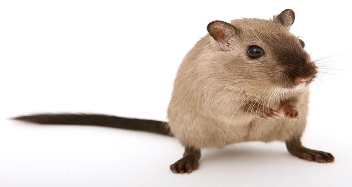 सपने में चूहा फसा देखना