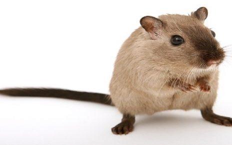 सपने में चूहा मरा देखना
