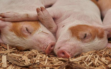 सपने में सूअर देखना