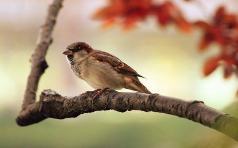 सपने में चिड़िया देखना
