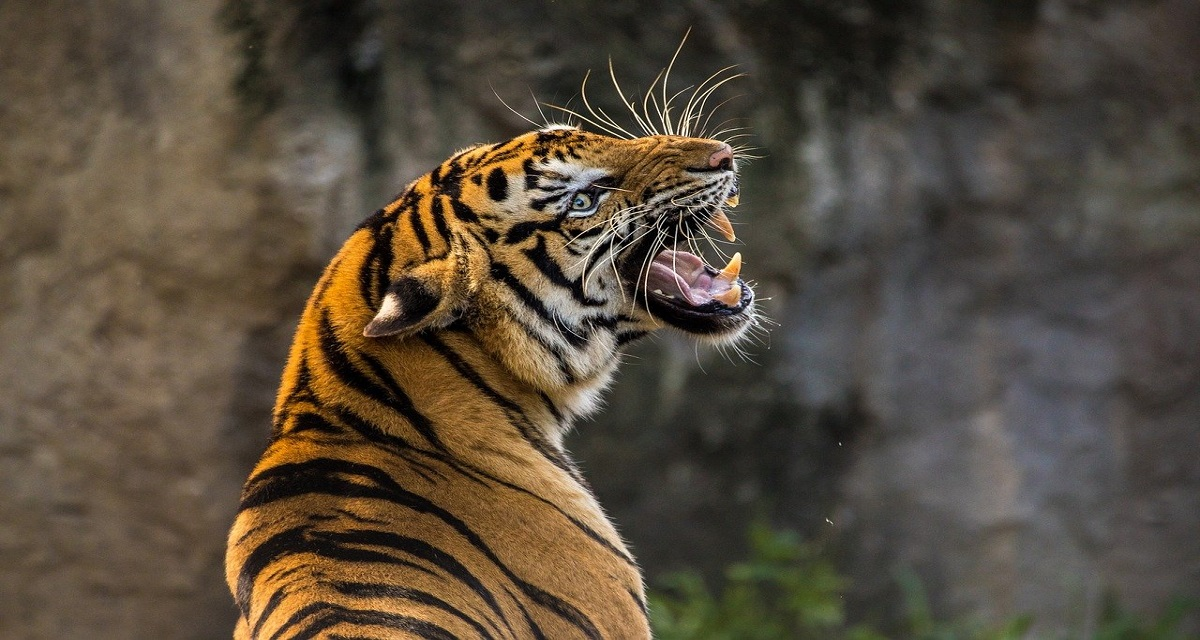सपने में बाघ देखना