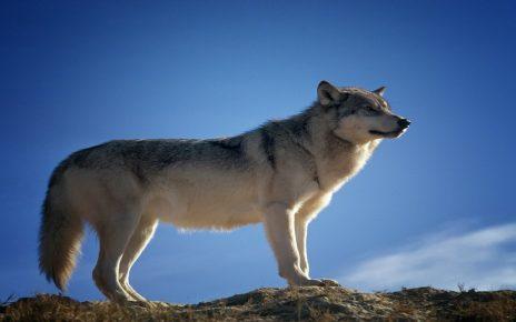 सपने में भेड़िया देखना